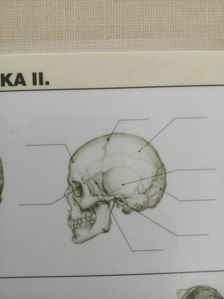 kostra hlavy 1