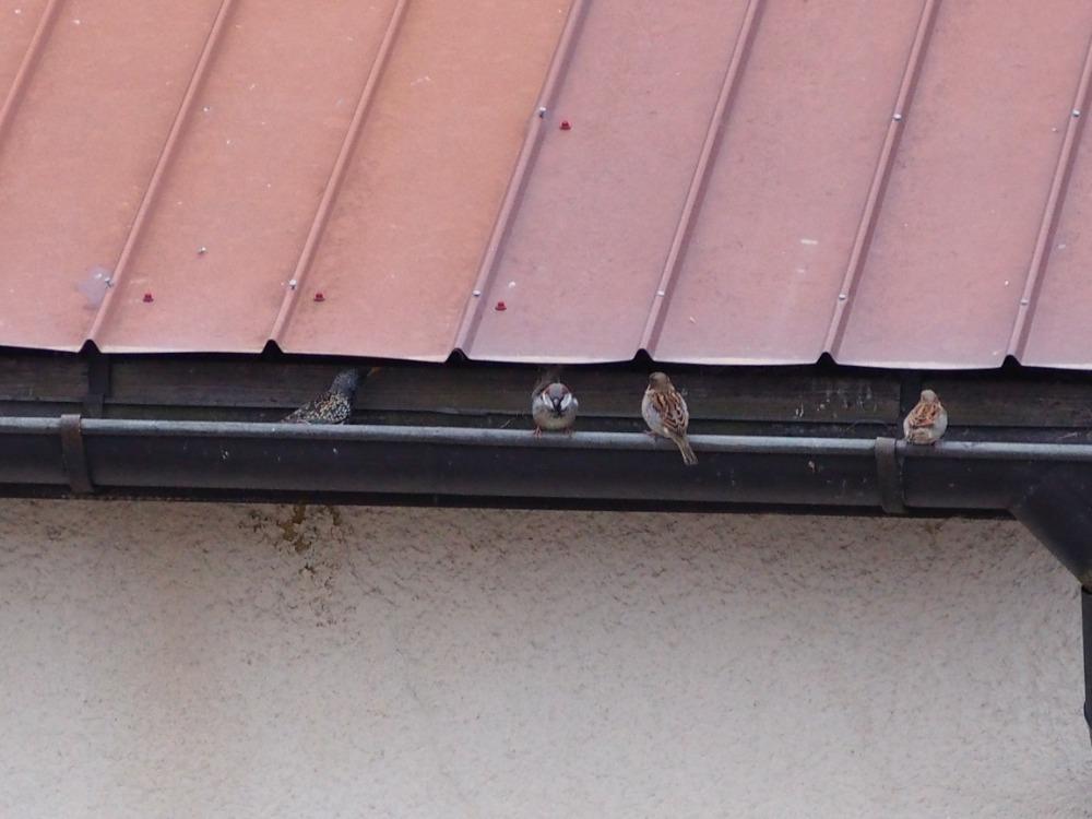 špaček, vrabci